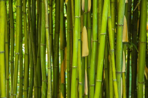 Gruener Bambus